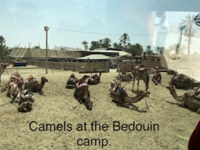 Camels at the Bedouin camp