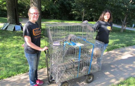 MWSU biology students working with opossums in live animal traps