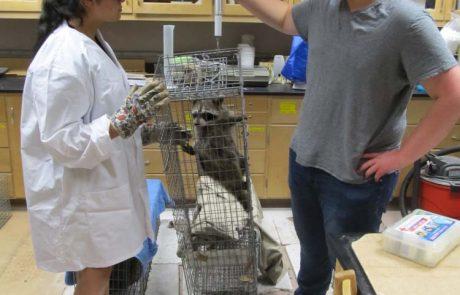 MWSU biology students - weighing raccoon in live animal trap