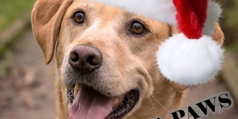 Golden Retriever with Santa hat